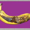 Braille Banana, photograph